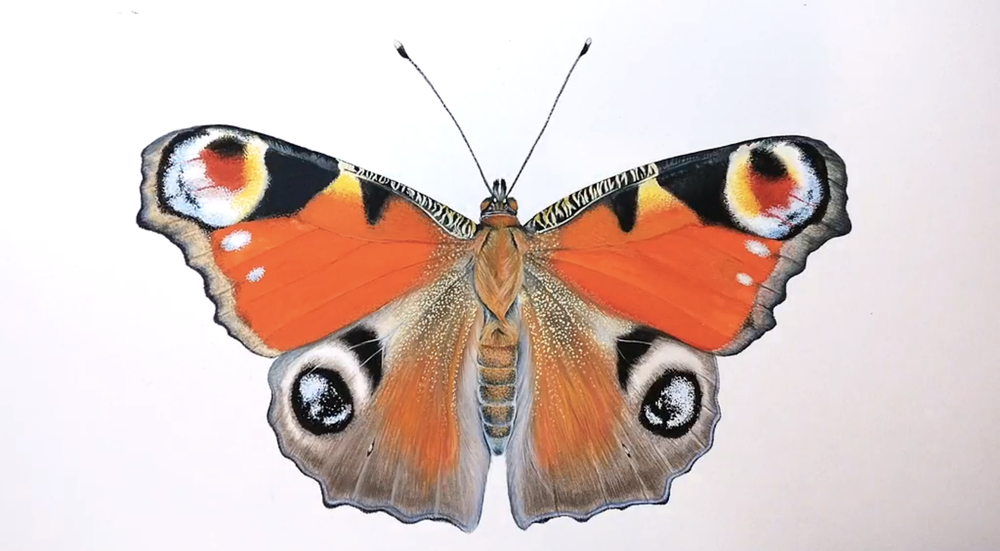 Amazingly detailed painting of a peacock butterfly by scientific illustrator and Skillshare instructor Alice Rosen.